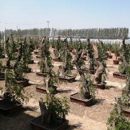 菊花造型青蒿种植