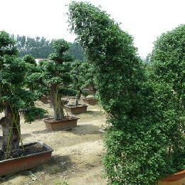 菊花造型种植区