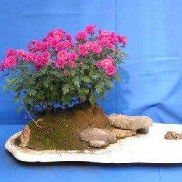 菊花造型水旱盆景