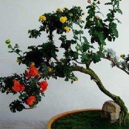 菊花造型原生盆景