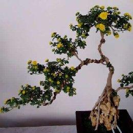 菊花造型附石盆景