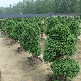 艺菊菊花造型种植场景