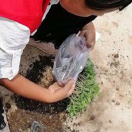 菊花种苗装袋