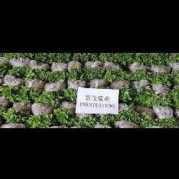 菊花种苗发货