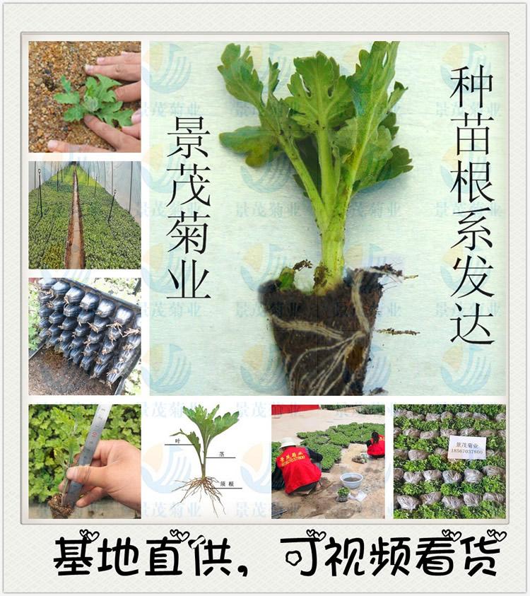 菊花的组织培养和快速繁殖