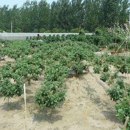 菊花造型-大立菊的栽培实景图