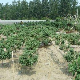 艺菊-大立菊的栽培实景图