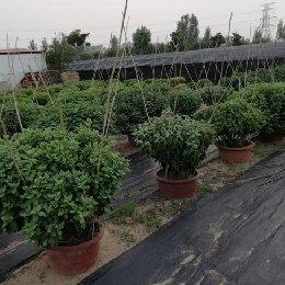 艺菊-小立菊栽培实景图