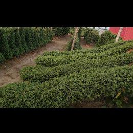 艺菊-悬崖菊的栽培实景图