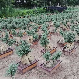 艺菊-原本盆景菊的栽培实景图