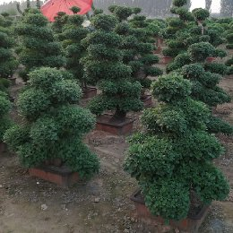 艺菊-嫁接附桩盆景菊的栽培实