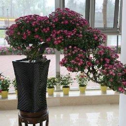 艺菊-悬崖式盆景菊的栽培