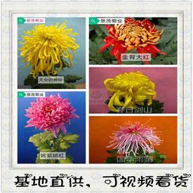 景茂菊业-品种菊