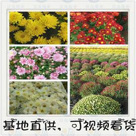 景茂菊业-小菊