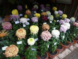 多品种独本菊